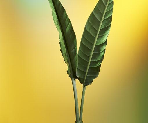 Stillleben zwei imposante Blätter vor gelben Hintergrund
